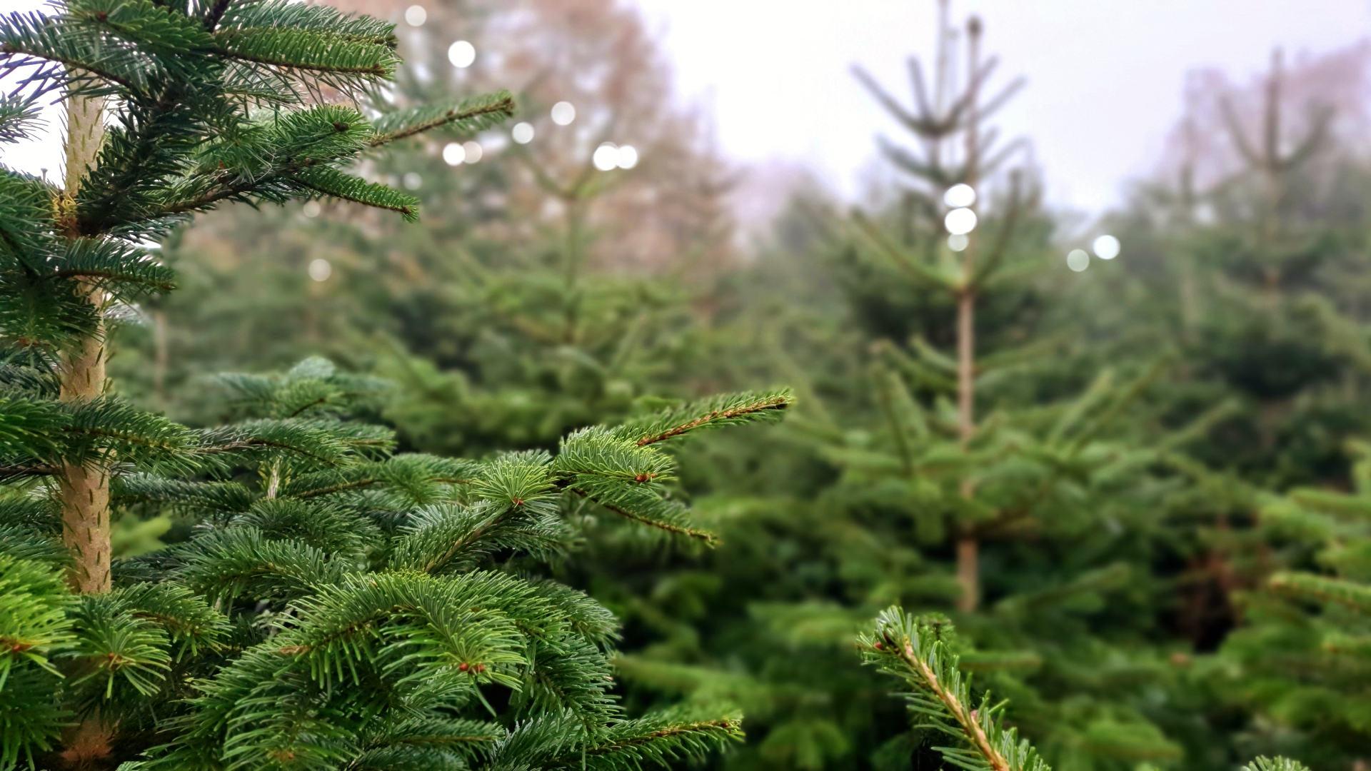 nordmann kerstboom westerwolde